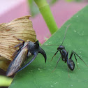 Ant with treehopper (mutualism)