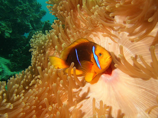 Tahiti-scuba-clownfish.jpg - Clownfish dart in and out of rich coral reefs in Tahiti.