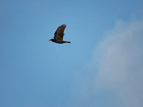 Photo: Priorslee Lake Corvid lesson 1: a Rook with a pale conical bill. (Ed Wilson)