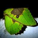 Ganesh's Lappet Moth