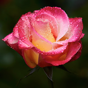 0 Rose 9637~ 1.jpg