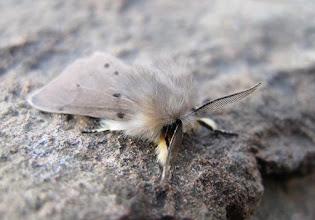 Photo: Muslin moth 23 April 2015 © Keith Gittens 2015