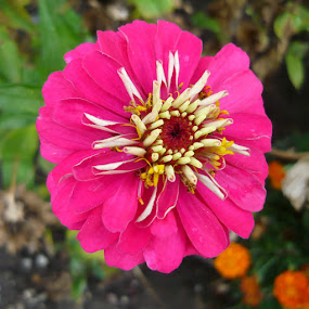 Zinnia by Helena Moravusova - Flowers Single Flower ( zinnia, flower )