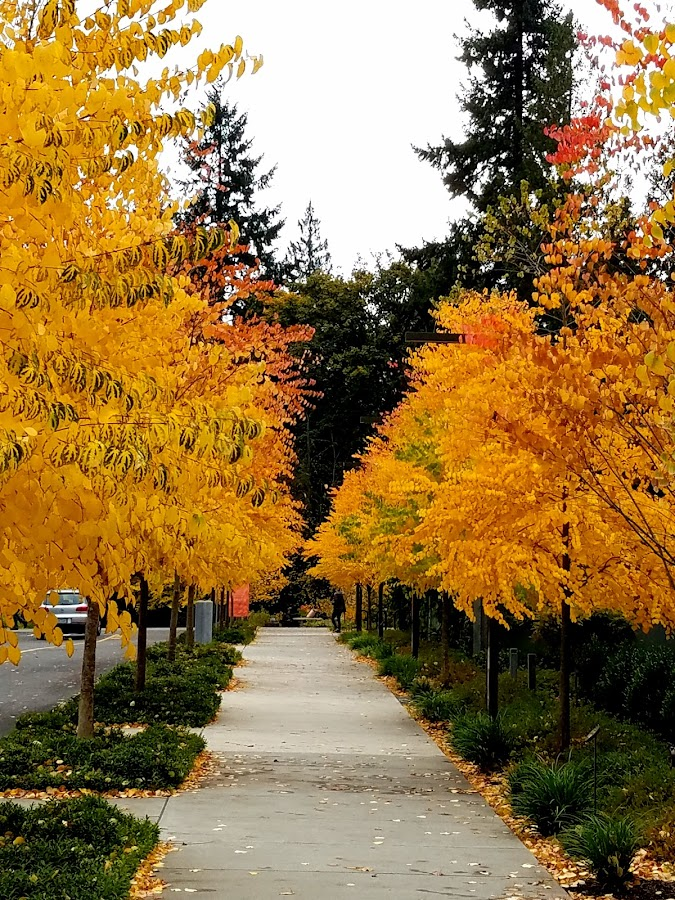 Golden yellow leaves of Autumn  by LaDonna McCray - Nature Up Close Trees & Bushes ( washington, autumn leaves, fall, trees, yellow, leaves, golden,  )