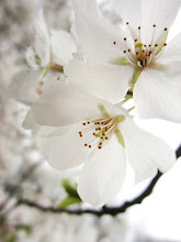 Photo: Delicate pale cherry blossoms at Eastwood Park in Dayton, Ohio.
