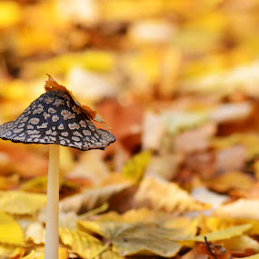 Autumn hat by Alina Dinu - Nature Up Close Mushrooms & Fungi ( colour, mushroom, nature, autumn, leaves,  )
