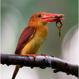 Ruddy Kingfisher by Suraj Ramamurthy - Animals Birds ( #bida, #singapore, #rudy, #kingfisher, #nikond4, #nikkor500mm )
