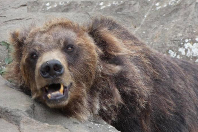 Jenny the bear, whose condition sparked public outrage.