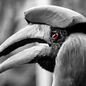 Great Hornbill by Michael Michael - Animals Birds ( bird, hornbill, great, black and white, wildlife, great hornbill,  )