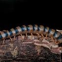 Red-headed Centipede