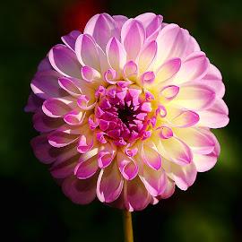 Dalhia n00072 by Gérard CHATENET - Flowers Single Flower