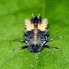 Asian Ladybug (Larvae).