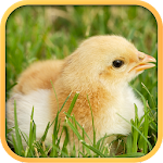 Real Chicken Simulator 1.5