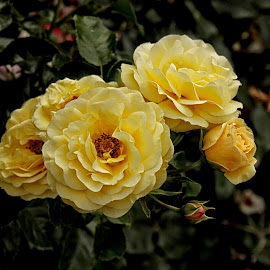 GOR rose 114 16 by Michael Moore - Flowers Flower Gardens (  )