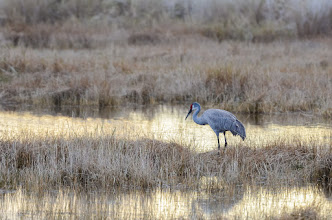 Photo: Sandhill crane; Lake Woodruff NWR
