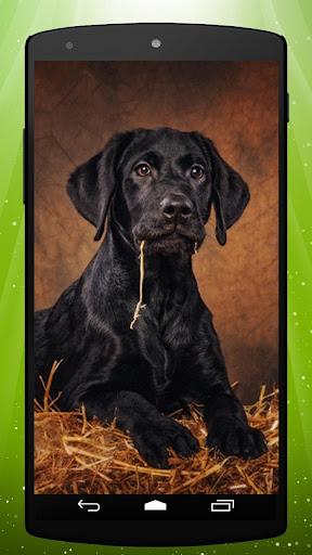 Labrador dog Live Wallpaper