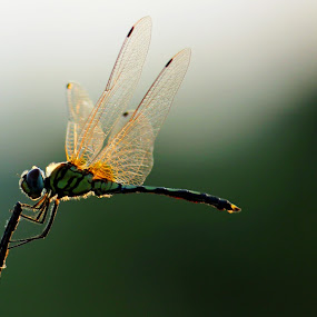 Dragon fly  !! by Nirmal Kumar - Animals Insects & Spiders