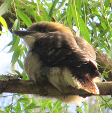 Photo: Year 2 Day 162 -  A Baby Kookaburra at the Camp Site