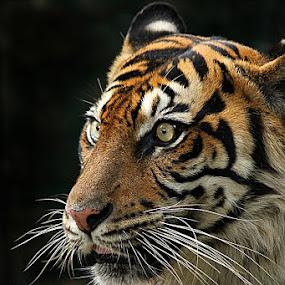 sumatran tiger by Caraka Pamungkas - Animals Other Mammals