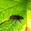 Alder Sawfly
