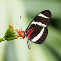 Hewitson's Longwing