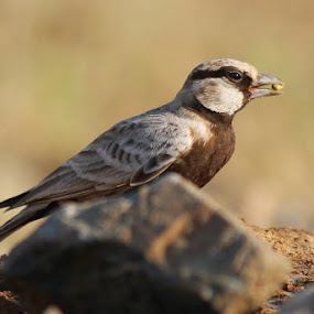 Ashy Crowned Sparrow Lark.........with canon 1100D 55-250IS.................... at kantaliya pali marwar...........CLICKED BY Dr M.S. RATHORE by Dr. Mahendra singh Rathore - Animals Birds