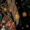 Redshouldered Leaf Beetle