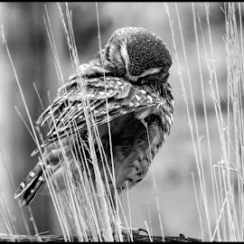 Burrowing Owl by Dave Lipchen - Black & White Animals ( burrowing owl )