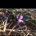 Arrow leaved violet