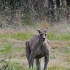 Eastern Grey Kangaroo (male)