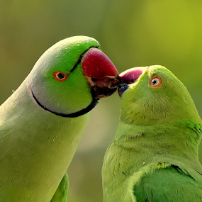 Mr and Mrs. Rose Ringed Parakeet by Manoj Kulkarni - Animals Birds ( parakeet, kissing, pair, green, ringed, parrot, wildlife, birds, bird, love, two, rose, kiss, red, nature, beak,  )