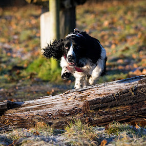 Log Jump by Michael Ripley - Animals - Dogs Playing ( spaniel, jumping, playing, sprocker, dog, springer )