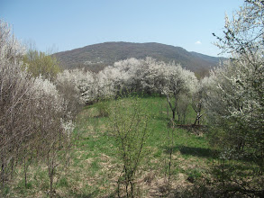 Photo: Rascvetali glog privlači mnogobrojne pčele čije se zujanje neprestano čulo oko nas
