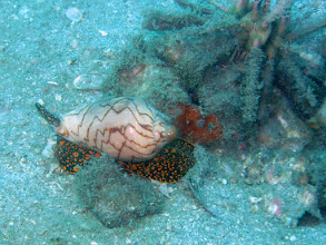 Photo: Noble Volute and weird fish-shaped sponge friend