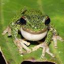 Western Highland Treefrog