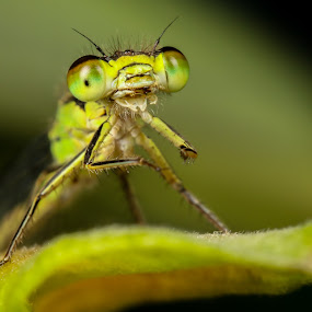 Smiling Damselfly by Amanda Blom - Animals Insects & Spiders ( macro, nature, damselfly, green, insect, closeup,  )