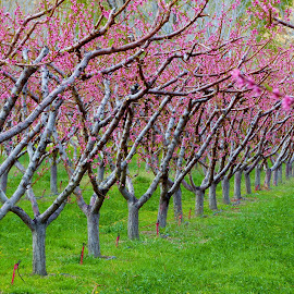 Pink Palisade Peach Blossoms by Laurie DeMent - Nature Up Close Trees & Bushes (  )