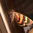 Oldwife Underwing Moth
