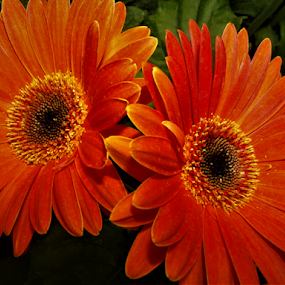 Twin Flowers by Cheryl Beaudoin - Flowers Single Flower ( orange, two, duet, brown, flowers, twins,  )