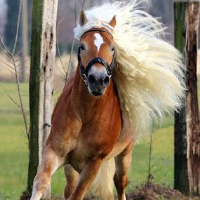 Haflinger horse by Alessandra Cassola - Animals Horses ( #haflinger, #horse )
