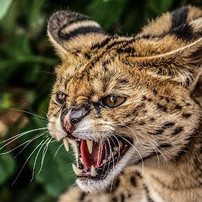 Serval, by Garry Chisholm - Animals Other Mammals ( garry chisholm, predator, cat, serval, nature, wildlife )