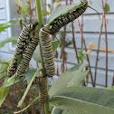 Monarch Butterfly Catepillar