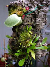 Photo: Utricularia alpina (unten) & Dischidia pectenoides