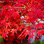 Momiji by Curly Yanni - Nature Up Close Leaves & Grasses (  )