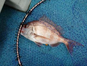 Photo: 真鯛キャッチ!