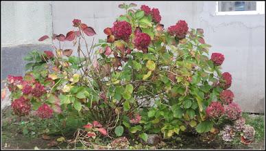 Photo: Hortensie (Hydrangea)  - din Turda, Str. Rapsodiei, Nr.4-6 - 2018.11.11.