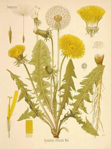 Dandelion the misunderstood herb