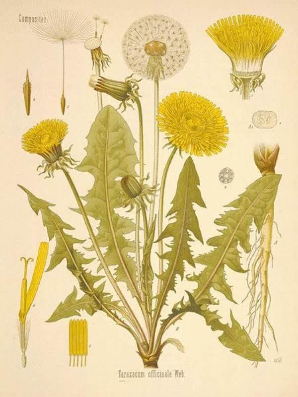 Dandelion The Misunderstood Herb Recipe