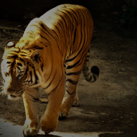 by Denise O'Hern - Animals Lions, Tigers & Big Cats