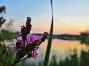 Photo: Purple flowers overlooking a sunset on a lake at Carriage Hill Metropark in Dayton, Ohio.
